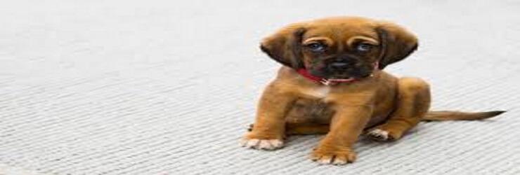 cute-little-puppy
